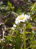 Photo:a white dandelion. 白花タンポポ By T.Kiya