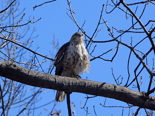 Great Hill Juvie Hawk #2 - 7239