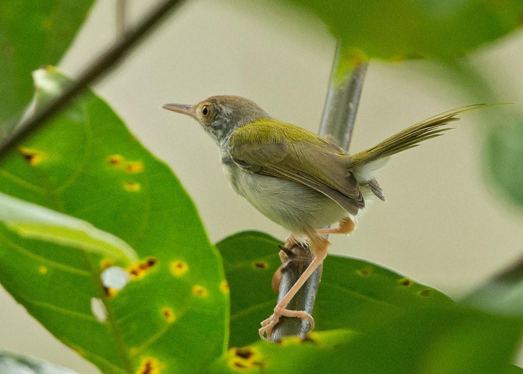 Common Tailorbird  Thailand