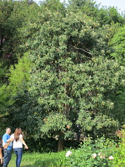 Standard Size Loquat Fruiting at The Huntington