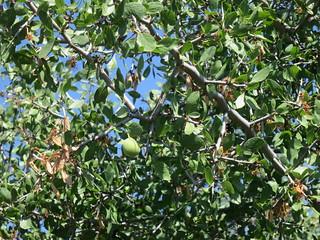 Desert Apricot - Prunus fremontii