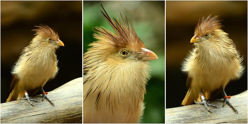 Cuckoo trio