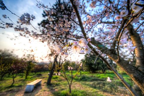 morning pink sunlight white flower tree nature forest sunrise cherry spring nikon blossom wide sigma sakura hdr 1224 d800 明孝陵 梅花山