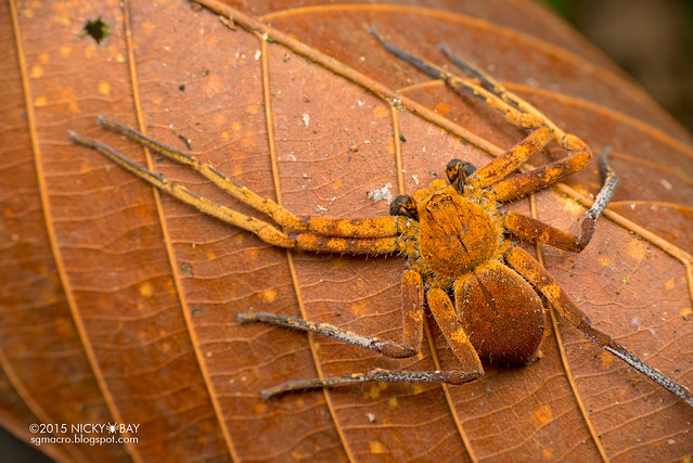 Orange huntsman spider (Sparassidae) - DSC_3703