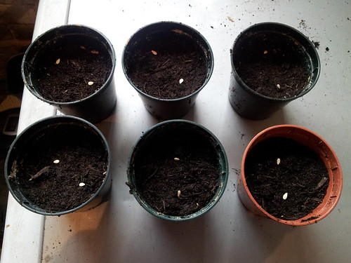 Cucamelon seeds in the pots. Now I just need to cover them with a little soil and let them do their thing