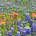 93/365 - Texas Wildflowers by seeit_snapit