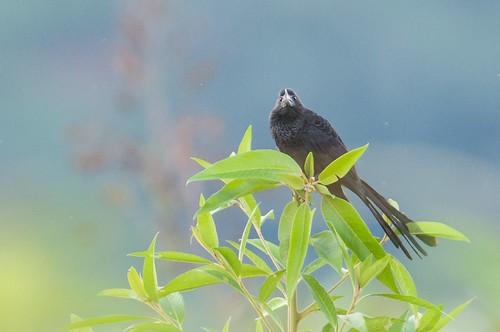 peru birds animals animalia junín vertebrates smoothbilledani crotophagaani cuculidae cuckoos