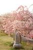 Photo:IMG_0099 枝垂桜 By vicjuan