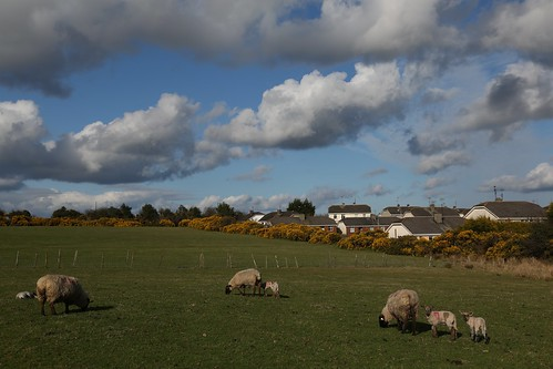 ireland clouds evening spring view sheep sunny lamb lambs wicklow rathdrum ballygannon
