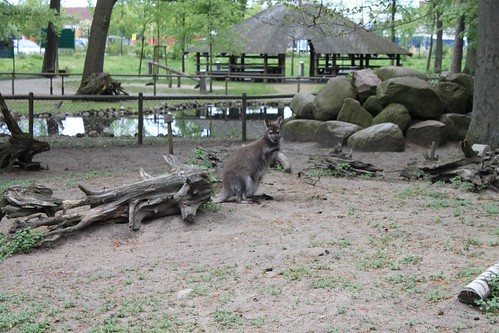 wallaby at Tierpark Ueckermünde