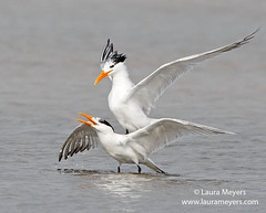 Royal Tern Pair