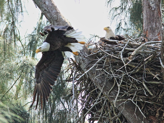 Bald eagle male flies from nest 20150316