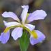 Louisiana Iris by Monceau