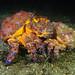 Mating puget sound king crabs by Eva Funderburgh