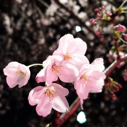 目黒川の夜桜。咲き始めてきたね。