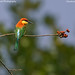 Chestnut Headed Bee Eater!! by Anupam Dash Photography