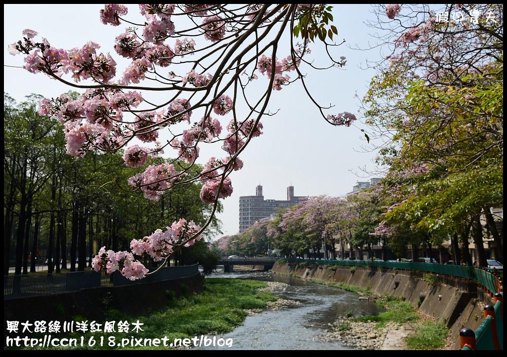 興大路綠川洋紅風鈴木DSC_2303