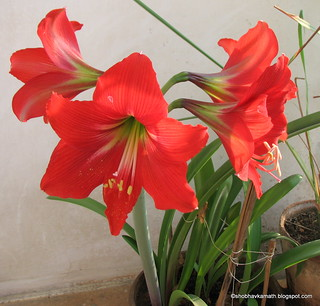 Amaryllis blooming in my balcony garden- See here for more:  http://shobhavkamath.blogspot.in/2015/03/amaryllis.html