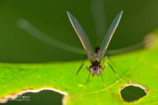 Mayfly (Ephemeroptera) - DSC_4745