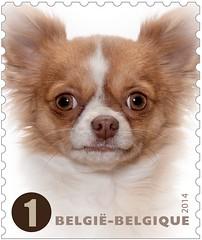 01 Timb I Chihuahua