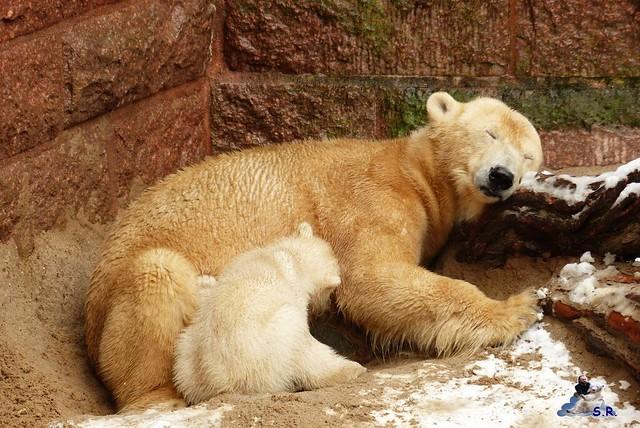 Eisbär Taufe Fiete Zoo Rostock 31.03.21015 85