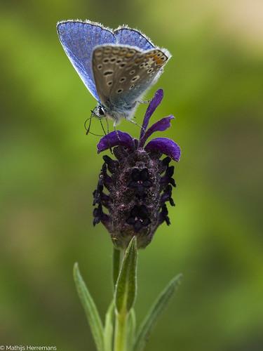 Het icarusblauwtje (Polyommatus icarus)