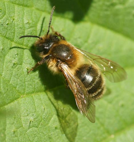 Mining bee - Andrena carantonica
