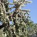 Fruiting Cholla Cactus; Catalina, AZ [Lou Feltz]