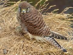 Faucon crécerelle - Common Kestrel