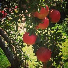 Neighbor's #pomegranate nearly ready for harv…