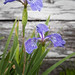 Iris By The Outhouse by barachois50