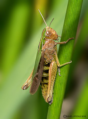 HolderCommon Green Grasshopper