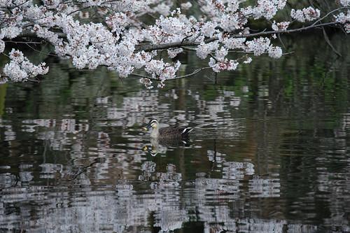 桜池すいすい