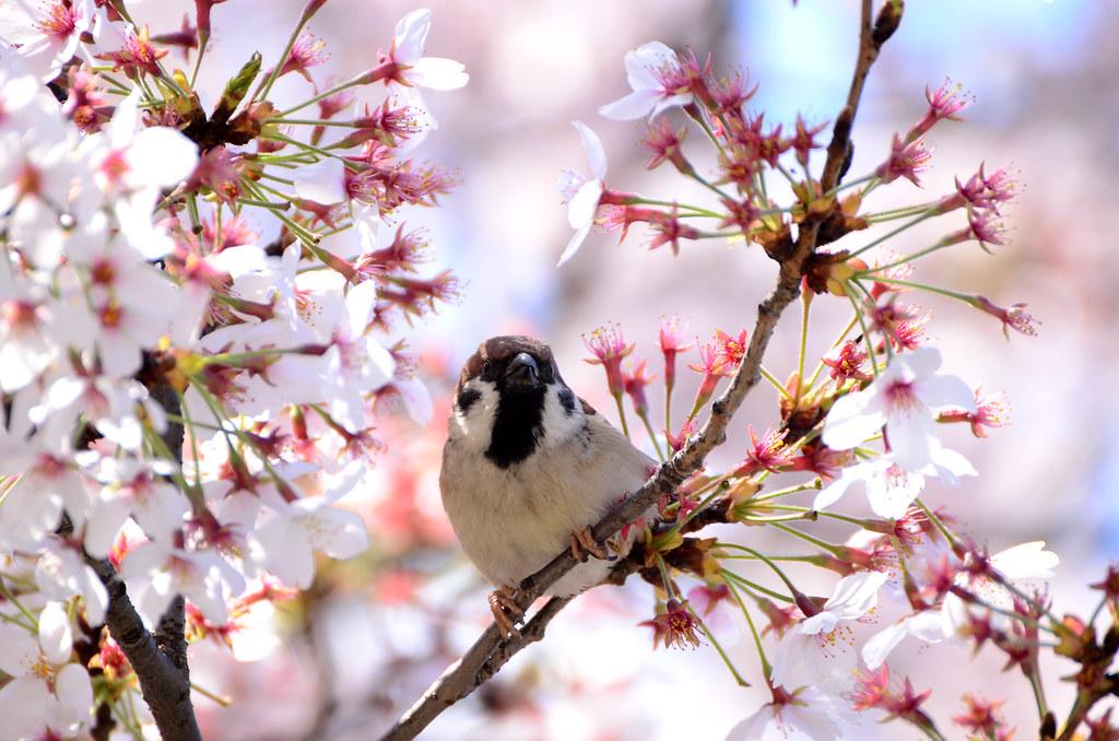 Eurasian tree sparrow/麻雀/スズメ