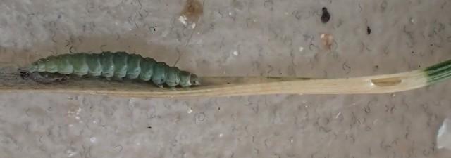 Cedestis subfasciella larva