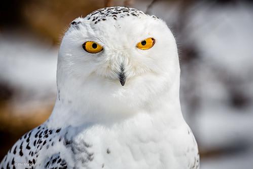 Snowy owl stare down