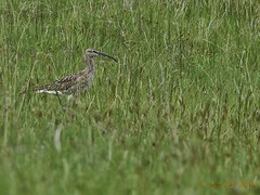 animal, prairie, grass, fauna, meadow, shorebird, snipe, grassland, bird, wildlife,