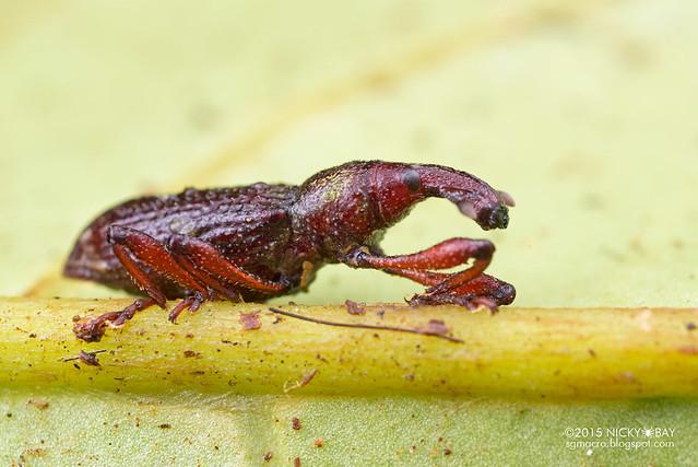Weevil (Curculionidae) - DSC_2974