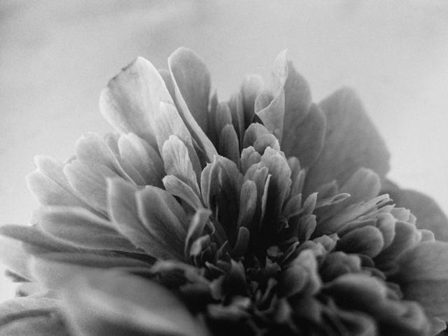black and white camelia