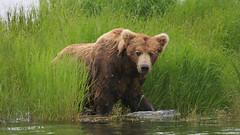 Niedźwiedź Grizzli