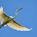 A Great White in Flight by Jeff Clow