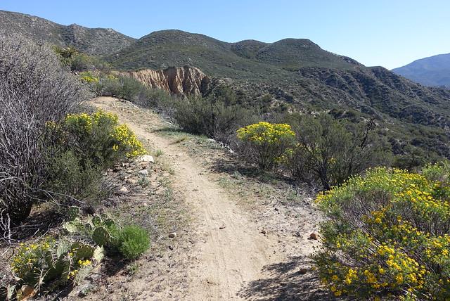 PCT.  Trail daisies.