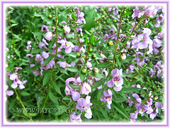 Lavender-coloured Angelonia angustifolia, seen at a nursery