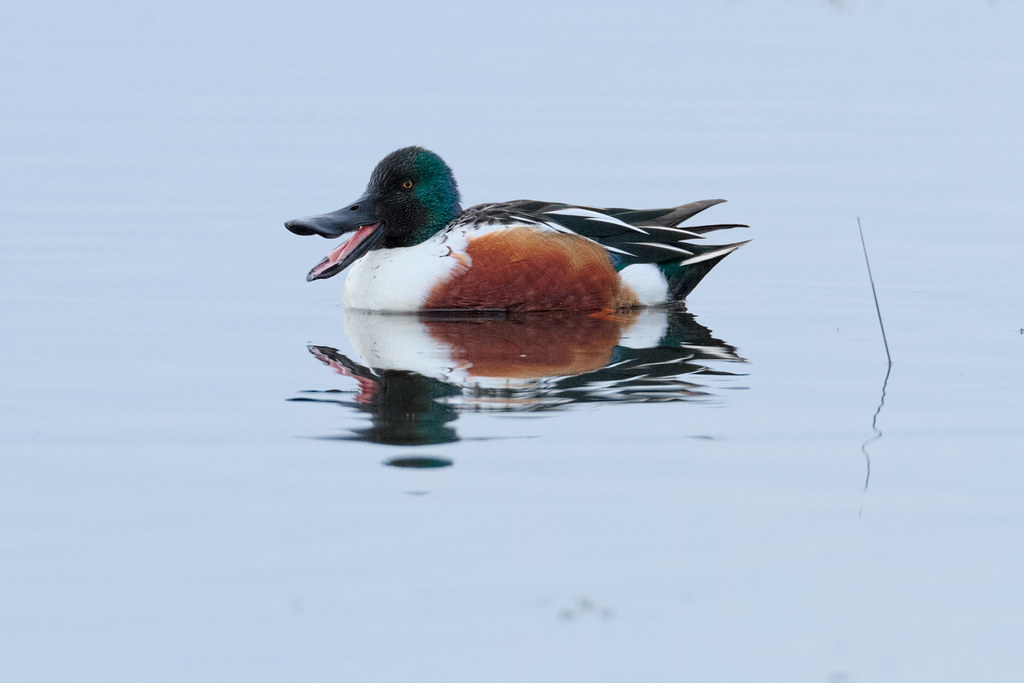 A male northern shoveler yawns while swimming in Rest Lake