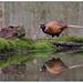 Fazant (man) - Common Pheasant (male)  (Phasianus colchicus) by Martha de Jong-Lantink
