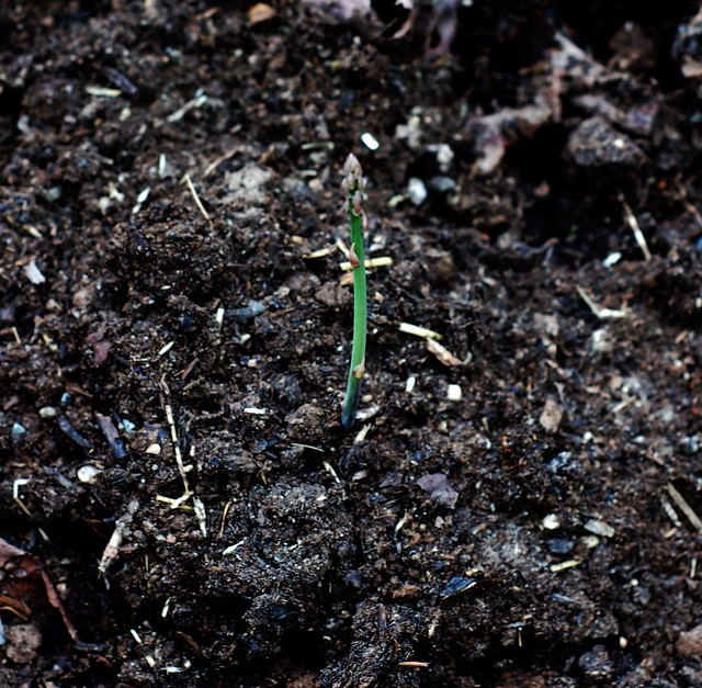 First asparagus spear is up! by Eve Fox, The Garden of Eating, copyright 2015