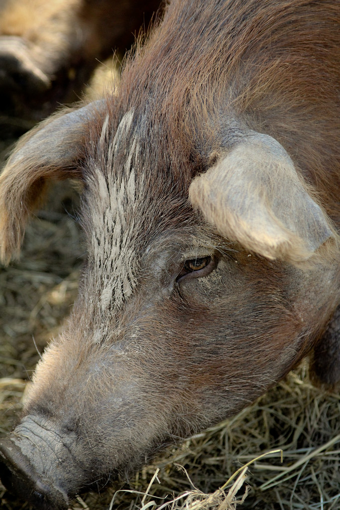 Just Up the Road: Nutty Pig Farm