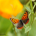 Nemo the Small Copper (Explored 29 July 2016) by ABPhotosUK