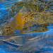 William Teuscher - Henry's Fork River, Idaho - Rainbow Rise.