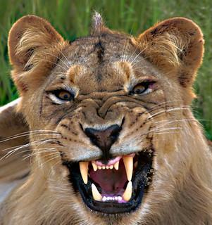 Lioness Fangs
